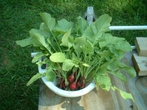 Greenhorn Gardening radishes