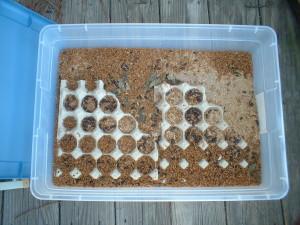GGreenhorn Gardening Mealworm Colony