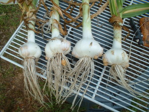 GG Elephant Garlic Harvest